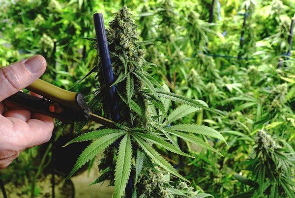 marijuana harvesting mistakes